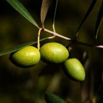 "Plum Olive (""Damaskinoelià"")"